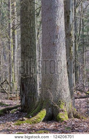Old spruce in foreground and old oak in background, Bialowieza Forest,Poland,Europe