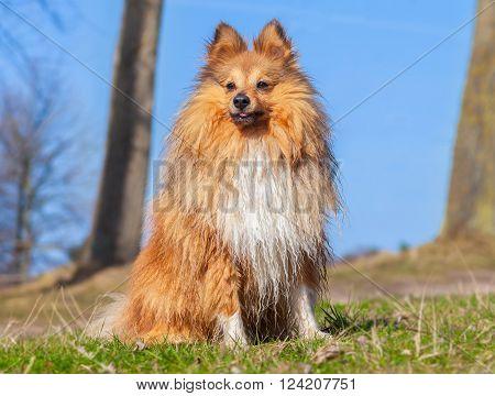 a young Shetland Sheepdog sits on grass