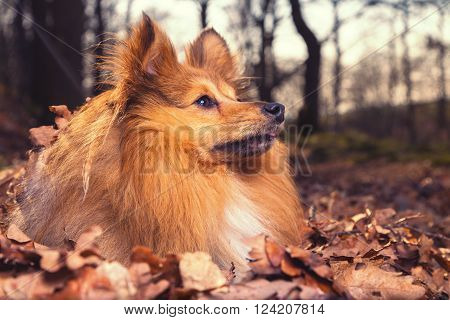 a Sheltie dog lies in brown foliage