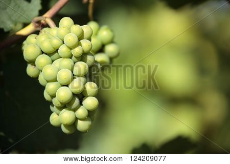 Chardonnay wine grapes vineyard burgundy france closeup
