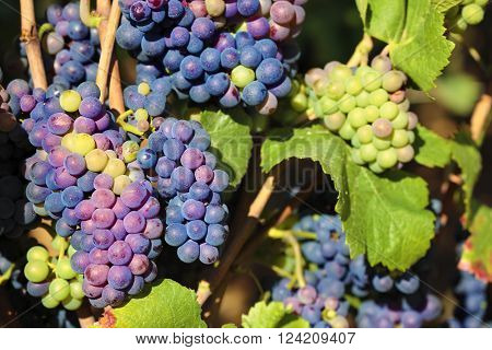 Red wine grapes growing bunches burgundy vineyard france