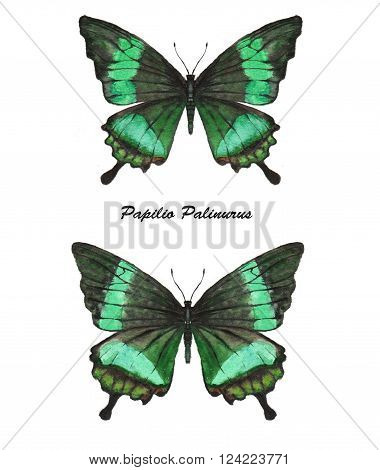Hand drawn watercolor illustration of isolated tropical butterflies: green Papilio Palinarus.
