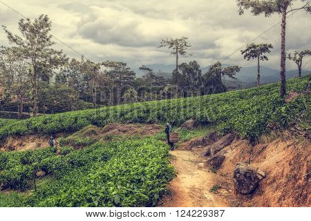 Tamil woman picking up tea leaves on plantations. Tea production is one of the main sources of foreign exchange for Sri Lanka. Tea plantations in the highlands of Sri Lanka island.