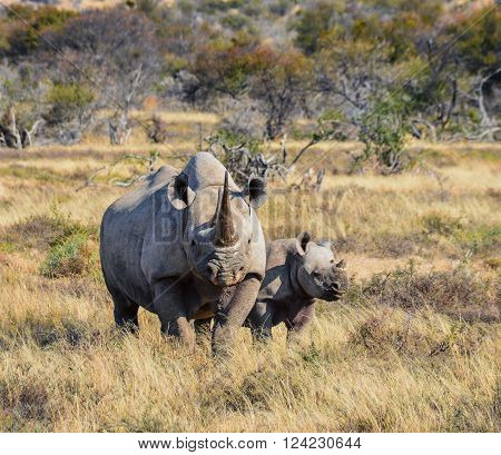 A Black Rhinoceros mother and six month old calf in the Eastern Cape South Africa