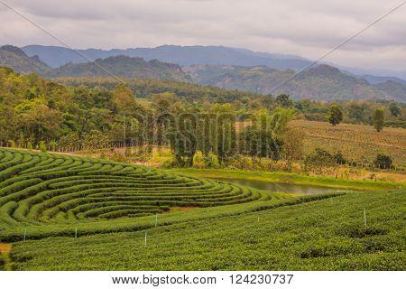 Choui Fong Tea Plantation At Mae Chan District Chiang Rai Province Thailand. ** Note: Soft Focus at 100%, best at smaller sizes