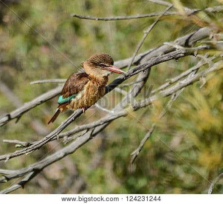 The Brown-hooded Kingfisher is not a migrant and although it is a bushveld bird it is resident in leafy suburbs of South African towns. Pairs stick together and may hold the same territory for several years.