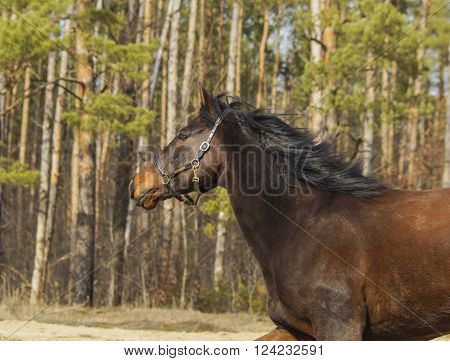 brown horse with black mane and tail on sand on a background of pine forest