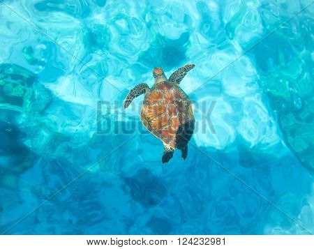 sea-turtle under water in blur background , turtle