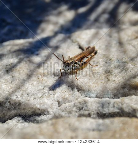 Single Grasshopper sitting on a rock in South Africa