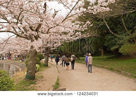KOBE JAPAN APRIL 3 Cherry blossom celebration called hanami. Akashi Park on April 3 2016 in Kobe Japan.