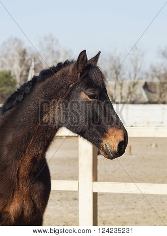 brown horse with the short black mane are in the paddock near the white fence