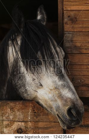 white horse head with a mane of black spots and looks out from a wooden stall