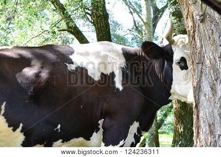 black and white cow in the woods hiding behind a tree