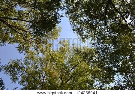 marge deciduous forest in summer sunny day view from below