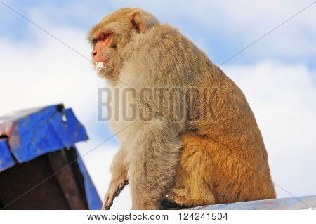 Baby monkey sitting on roof and looking down while eating snow in the mountain rang of murree Pakistan