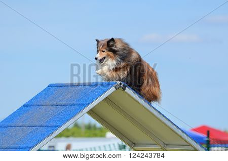 LAKE ELMO, MN - JUNE 8 2016: Tricolor Shetland Sheepdog (Sheltie) Climbing an A-frame at Dog Agility Trial