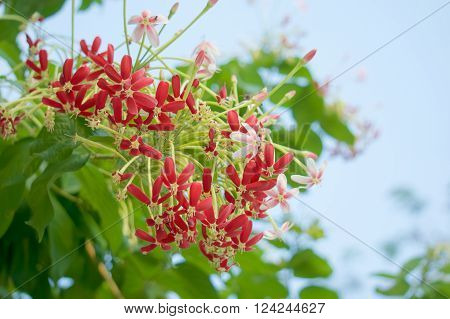 Chinese Honeysuckle With Green Leaves With Blue Sky