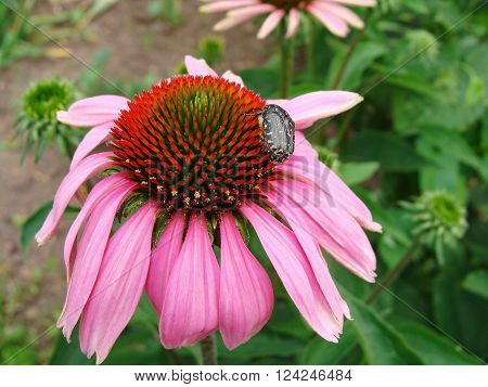 Beetle on top of a pink echinacea flower. Russia.