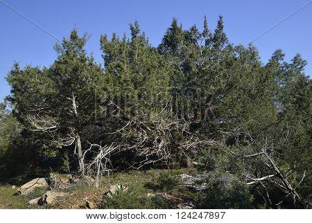 Phoenician Juniper Forest - Juniperus phoenicea Akamas Forest Cyprus