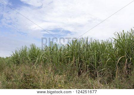 Sugarcane field view in east of Cuba