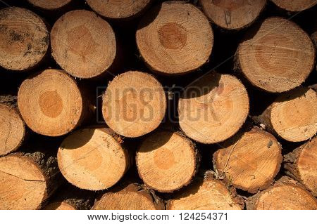 Stack of cut and stacked pine trunks,background.Closeup photo cut and stacked trunks of pine trees with visible grain and texture of wood. Horizontal view.
