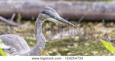 Great Blue Heron in the summer season