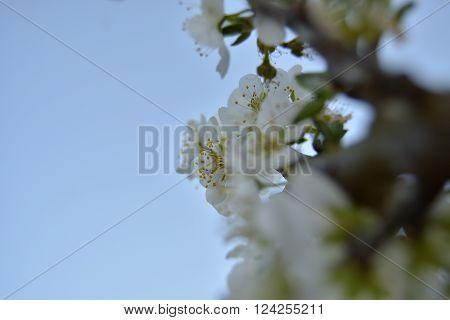 Flor ameixeira aberta em iníco de Primavera