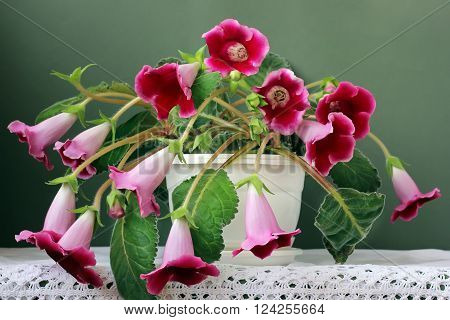 Gloxinia flower in white pot on a green background. A houseplant.