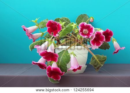 Gloxinia in a white flowerpot on a blue background. A houseplant.