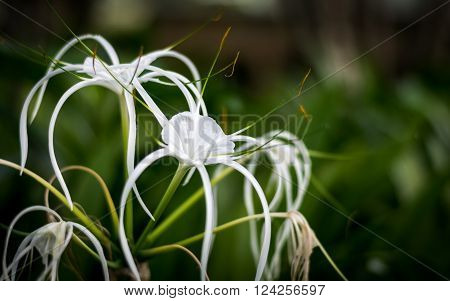 Crinum Lily Cape Lily Spider Lily Poison Bulb White flower have insect perched on leaves.