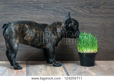 The dog sniffs the green grass (germinated oats). Vitamins for animals, fresh green, useful herb. Dog French Bulldog. Background wooden wall. The dog on the floor