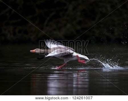 Greylag goose running on water in its habitat