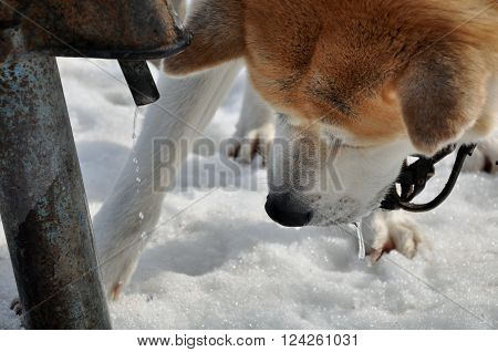 Drinking Akita The Dog