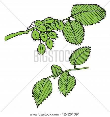 tree branch elm spring green on a white background and seeds