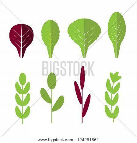 Salad ingredients. Leafy vegetables vector flat icons set. Organic and vegetarian borage and radichio