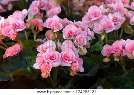 Beautyful pink begonia flower in the garden. group of begonia flower.