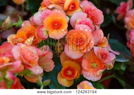 Beautyful orange begonia flower in the garden. group of begonia flower.