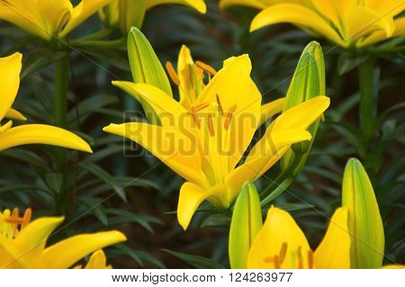 Beautiful yellow lily flower in green garden. group of lily flower.
