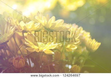 yellow Chrysanthemum flower in the garden with vintage effect.The group of yellow chrysanthemum flower on blur background with vintage effect.