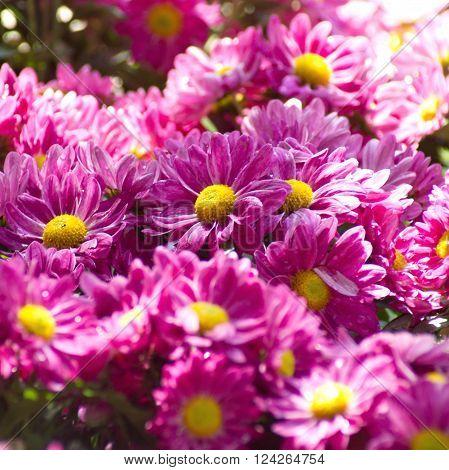 Beautiful pink Chrysanthemum flower in the garden.group of pink Chrysanthemum flower.