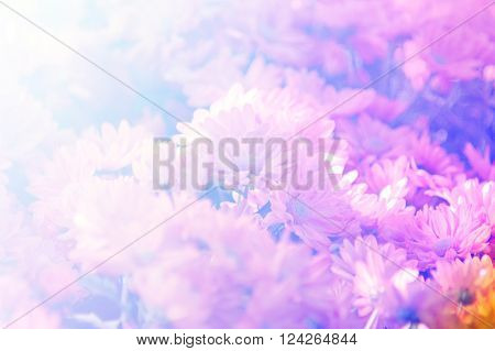 Beautiful pink Chrysanthemum flower in the garden.group of pink Chrysanthemum flower. with light effect fill in vintage style photo.