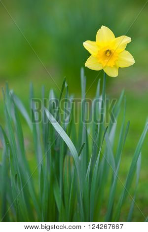 Daffodil, a genus of predominantly spring perennial plants in the Amaryllidaceae family