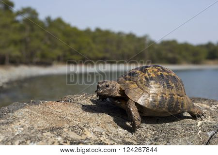 Turtle crawling on the rocky slope.European bog turtle (emys orbicularis).