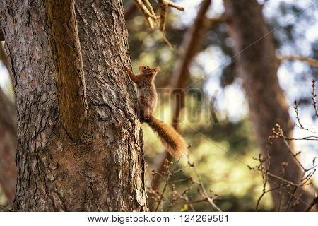 Beautiful Red Squirrel Sciurus Vulgaris Climbing Tree In Sunshine