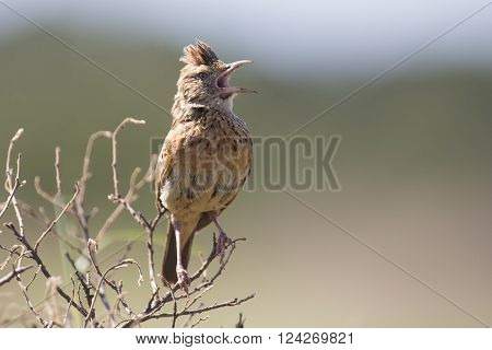 Rufous-naped lark sit on a branch and call to claim his territory