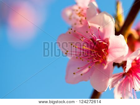 Blurred background. Branches with beautiful pink flowers (Peach) against the blue sky. Selective Focus. Peach blossom in the sunny day. ** Note: Shallow depth of field