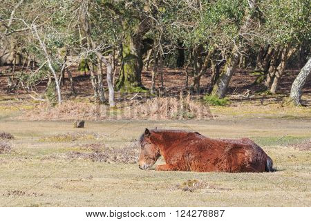 Wild Horses In New Forest National Park