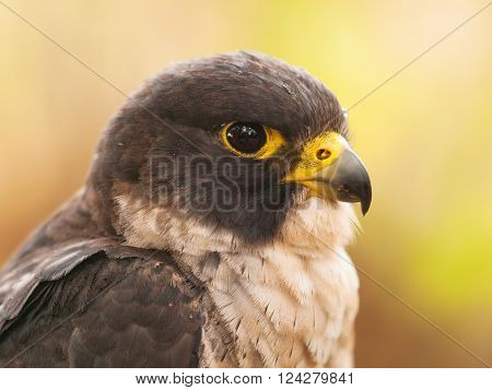 Head of peregrine falcon - Falco peregrinus fastest animal in the world