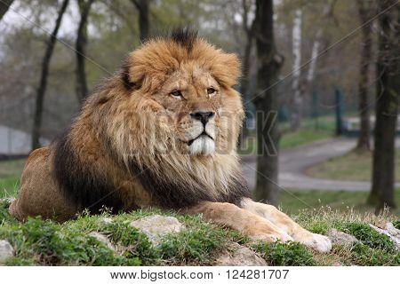 A male lion resting on a hilltop keeping an eye on its surroundings in a nature reserve