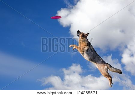 Dog is going to play disc in the sky